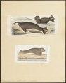 Stenorhynchus albiventer - 1700-1880 - Print - Iconographia Zoologica - Special Collections University of Amsterdam - UBA01 IZ21100173.tif