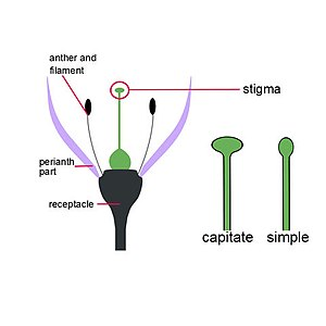 Stigma (botany) - Capitate and simple