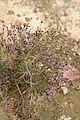 Stoebe fusca (Asteraceae) (4582071888).jpg