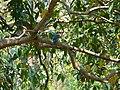 Stork-billed Kingfisher - Pelargopsis capensis - P1030546.jpg