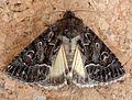 Straw Underwing. Thalpophila matura - Flickr - gailhampshire (1).jpg