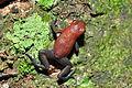 Strawberry poison-dart frog (Oophaga pumilio or Dendrobates pumilio) (9434731989).jpg