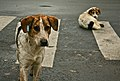 Stray dogs crosswalk.jpg