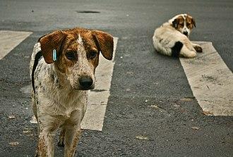 Street dog - Street dogs at a crosswalk in Bucharest