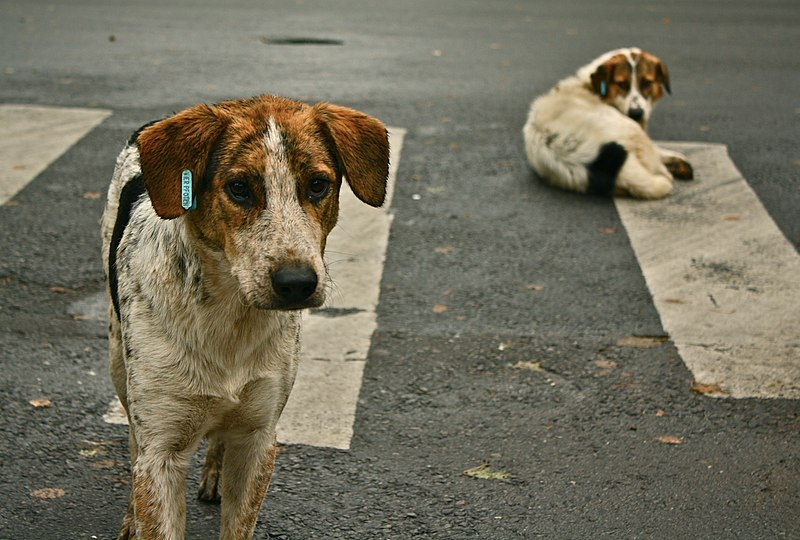 File:Stray dogs crosswalk.jpg