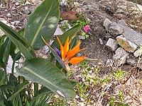 Strelitzia reginae from Kedumim 128.jpg