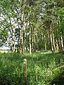 Strip wood, Watchlaw - geograph.org.uk - 863539.jpg
