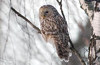 Ural owl Species of owl