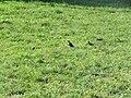 Sturnus vulgaris, Nis, Serbia 08.jpg