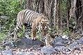 Sub adult Tiger, Zone 6 Ranthambore Tiger Reserve (28486115938).jpg