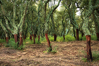 Peeled trunks of cork oaks in Tempio Pausania Sughero TempioPausania.jpg