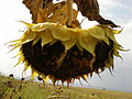 Sunflower (1).jpg