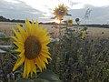 Sunflower Dortmund 49.jpg