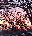 Sunset with bare trees December in New Jersey.JPG