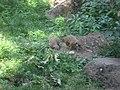 Suricata suricatta in Burgers' Zoo (Park) (1).JPG