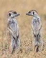 Suricatos (Suricata suricatta), parque nacional Makgadikgadi Pans, Botsuana, 2018-07-30, DD 24.jpg
