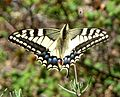 Swallowtail. Papilio machaon - Flickr - gailhampshire.jpg