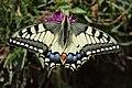 Swallowtail - Papilio machaon (20149733840).jpg
