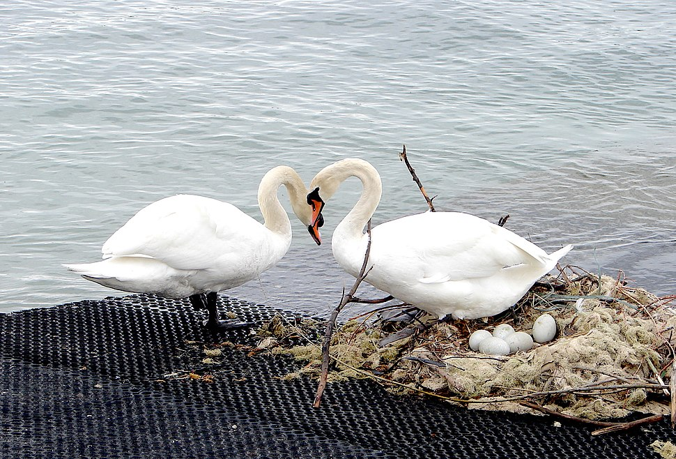 Swans with nest and eggs at Lake Constanze