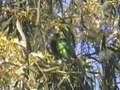 File:Swift Parrot.ogv