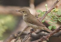Syke's Warbler (Hippolais rama) on Vilaiti Siris (Samanea saman) in Kolkata W IMG 4659