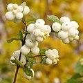 Symphoricarpos albus fruit Снежноягодник Плоды осенью.jpg