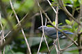 Tángara Azulgris, Blue Gray Tanager, Thraupis episcopus (11915066783).jpg