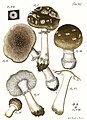 Tab90-Agaricus maculatus Schaeff.jpg