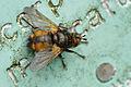 Tachinidae fg.jpg