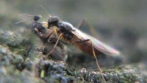 File:Tachypeza nubila with prey.ogv