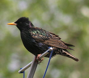 English: Feeding a nest full of ravenous chick...