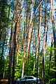 Tall trees in woods.jpg