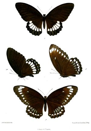 Papilio castor - Image: Tamera mehala 498