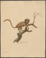 Tarsius spec. - 1700-1880 - Print - Iconographia Zoologica - Special Collections University of Amsterdam - UBA01 IZ19700142.tif