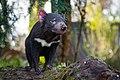 Tasmanian Devil (32892720043).jpg