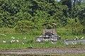 Taun-Gusi-2 Sabah Ploughing-the-rice-paddies-01.jpg