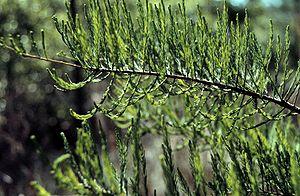 Taxodium ascendens - Taxodium ascendens foliage