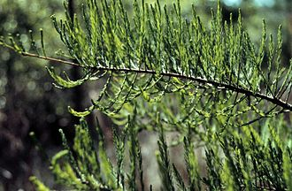 Taxodium ascendens - Foliage