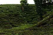 Tea gardens in Srimangal.jpg