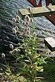 Teazels by the Footbridge - geograph.org.uk - 527699.jpg