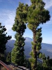 Teide in pines.jpg