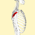 Teres minor muscle lateral2.png
