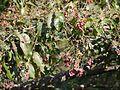 Terminalia paniculata Roth (16147949152).jpg