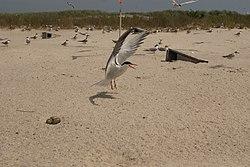 Tern at monomoy.jpg
