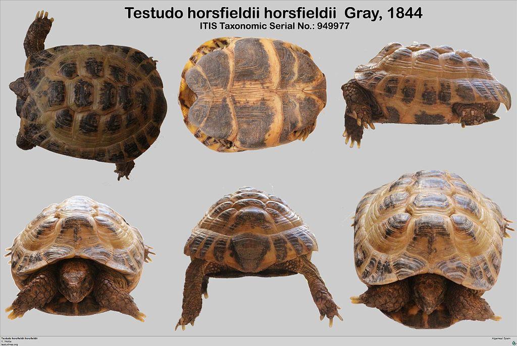 Testudo horsfieldii description.jpg
