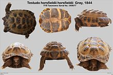 Testudo horsfieldii description.jpg