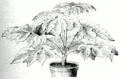 Tetrapanax papyrifer.png