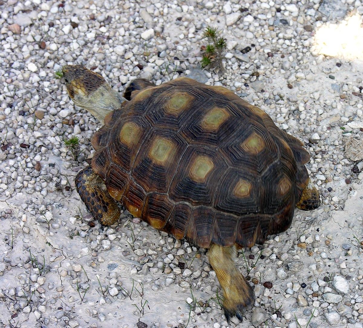 Gopherus berlandieri - Wikipedia, la enciclopedia libre