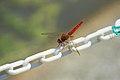 Thailand Riku Show Zhou Dragonfly (28077536205).jpg