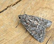 Thalpophila matura entomart.jpg